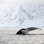 Northern Ireland travel photographer - Humpback whale tail Antarctica